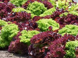 Salades ( voir descriptif pour les variétés disponibles) Image